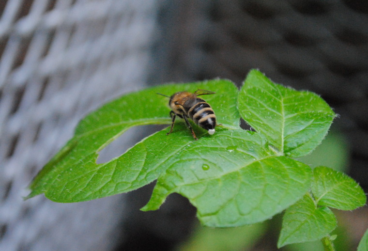 Pooping Bee